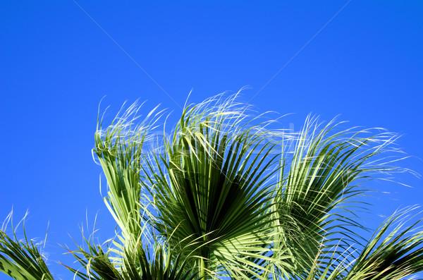 Feuilles de palmier vent plage feuille jardin beauté Photo stock © njaj