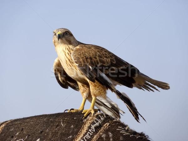 Caza ojo ojos aves pluma animales Foto stock © njaj
