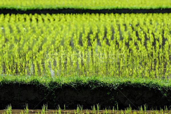 Pirinç alanları bali alan yeşil çiftlik Stok fotoğraf © njaj