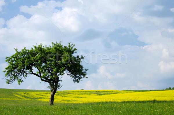 Vergewaltigung Felder Bäume Blume Blumen Frühling Stock foto © njaj