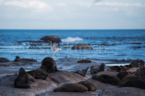 sea lion in hout bay Stock photo © njaj
