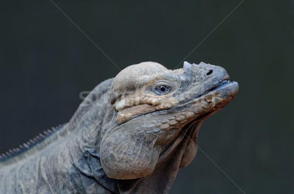 head of iguana Stock photo © njaj