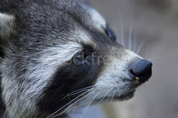 Wasbeer oog masker dieren wildlife zoogdier Stockfoto © njaj