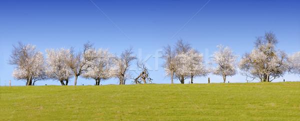 flowering trees in spring Stock photo © njaj