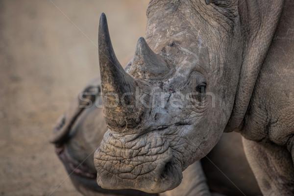 Biały rhino Afryki niebezpieczeństwo silne safari Zdjęcia stock © njaj