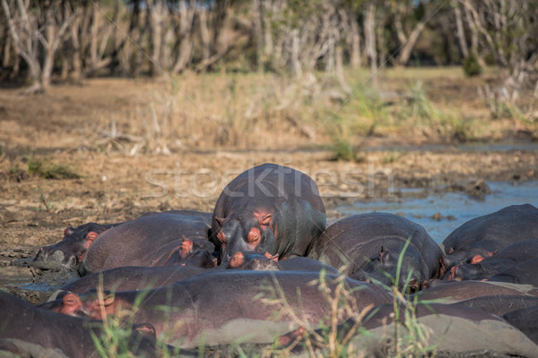 Hippo at water's edge Stock photo © njaj
