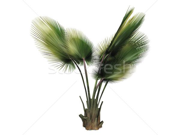 Foto stock: Palmeira · branco · folha · palma · verde · tropical