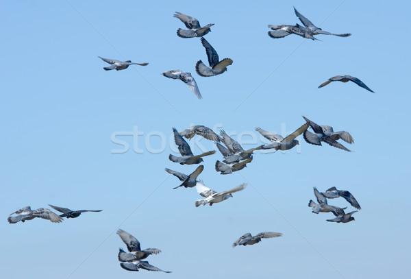 Vôo pomba asas livre pombo asa Foto stock © njaj