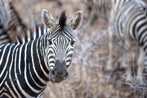 зебры ЮАР природы животные парка белый Сток-фото © njaj