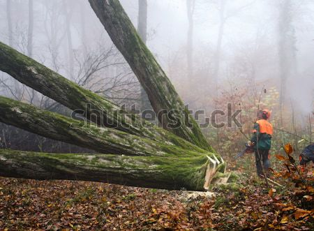 the  lumberjack and the forest Stock photo © njaj