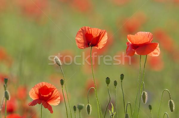 the poppies field Stock photo © njaj