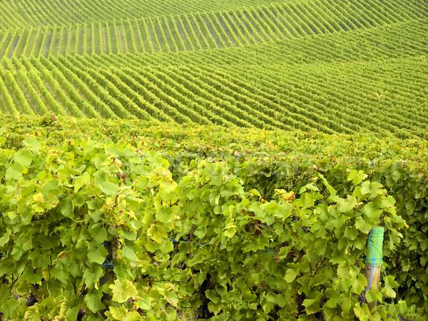 Stockfoto: Cultuur · wijnstokken · druiven · voedsel · natuur · bladeren