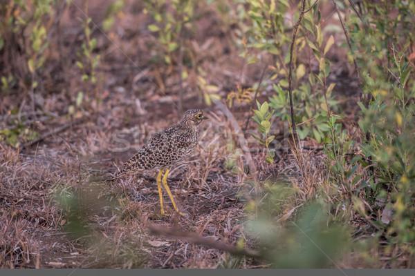 spotted thick-knee Stock photo © njaj