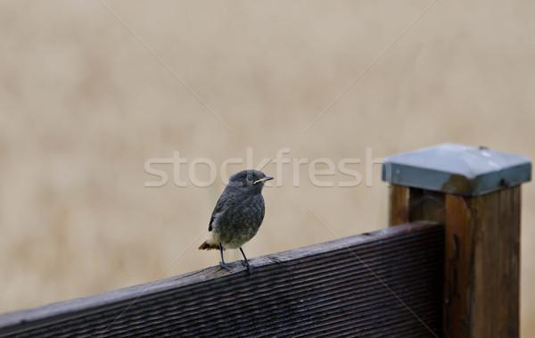 Foto stock: Pássaro · aves · vermelho · preto · animais · selvagens