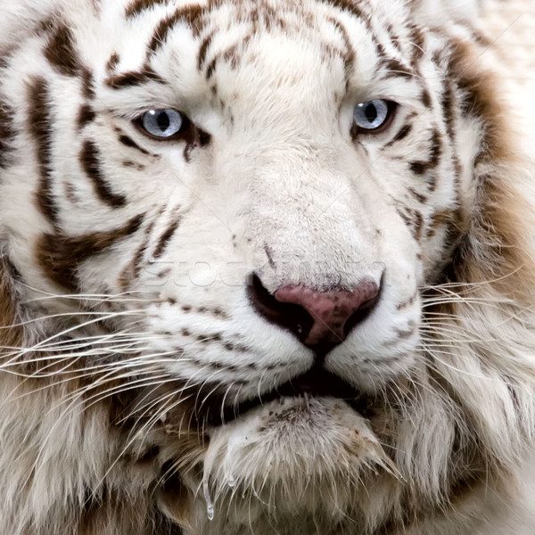 the white tiger Stock photo © njaj