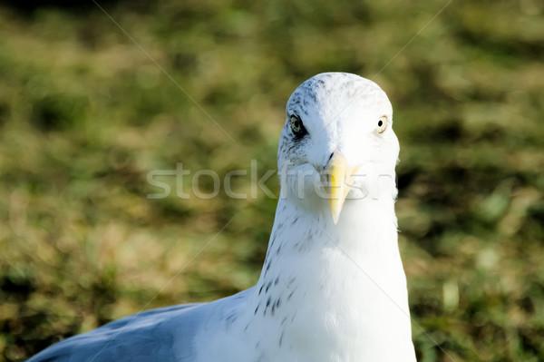 目 鴎 水 海 海 鳥 ストックフォト © njaj