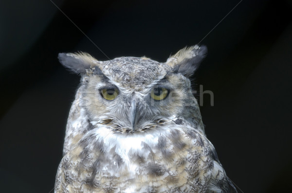 Eagle owl yeux nature nuit portrait animaux Photo stock © njaj