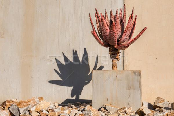 cactus and its shadow Stock photo © njaj