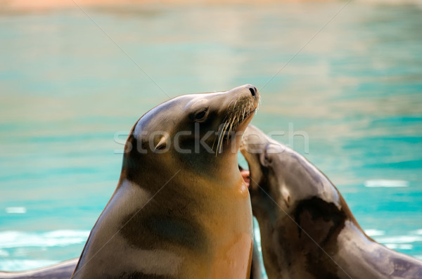 the sea lion Stock photo © njaj
