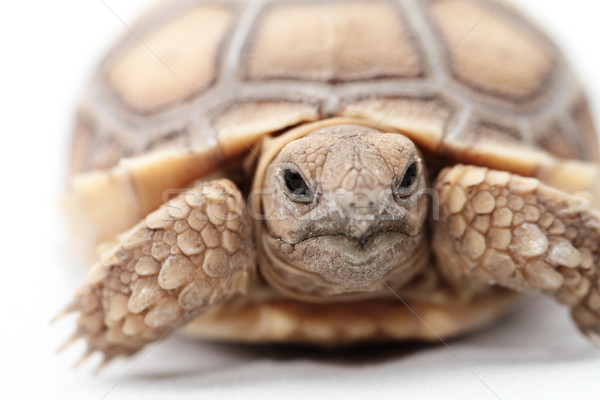 African Spurred Tortoise (Sulcata) Stock photo © Nneirda