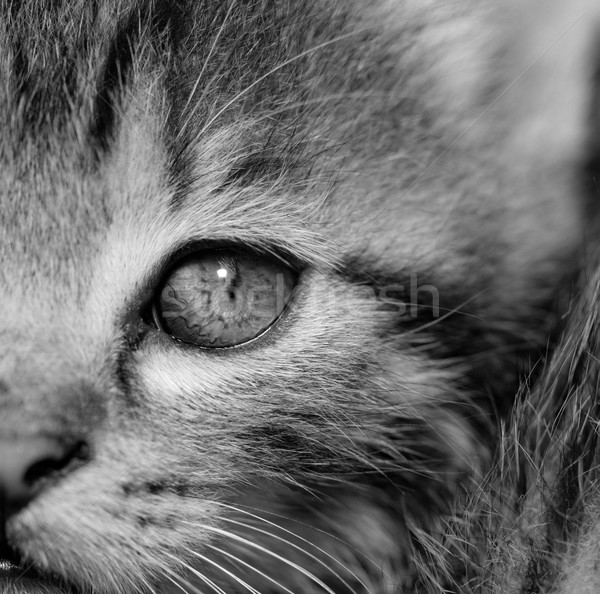 Foto stock: Gatito · primer · plano · retrato · casa · gato · blanco · negro