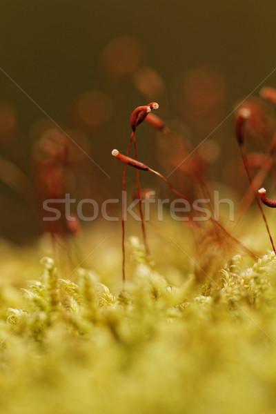 Yeşil yosun güzel makro fotoğraf küçük Stok fotoğraf © Nneirda