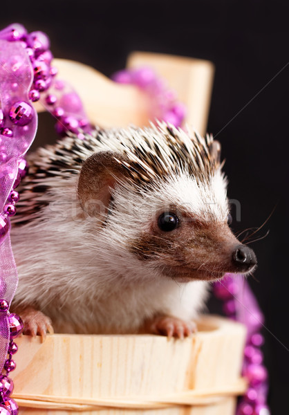 A cute little hedgehog - ( African white- bellied hedgehog ) Stock photo © Nneirda