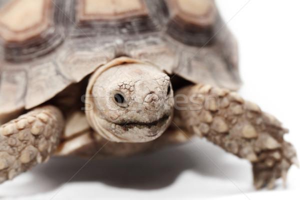 Foto stock: Africano · tartaruga · isolado · branco · natureza · animal