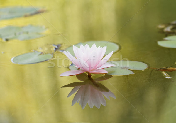 Pink water lily Stock photo © Nneirda