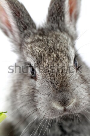 Gray rabbit Stock photo © Nneirda