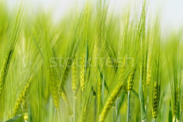 Verde trigo grano campo primavera libertad Foto stock © Nneirda