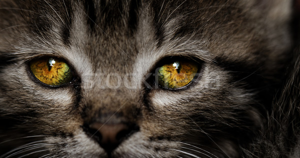 Stockfoto: Kitten · portret · huis · kat · Geel