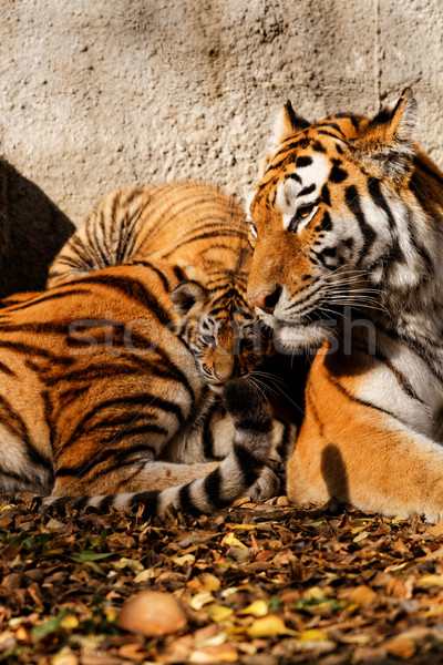 Tiger mum Stock photo © Nneirda