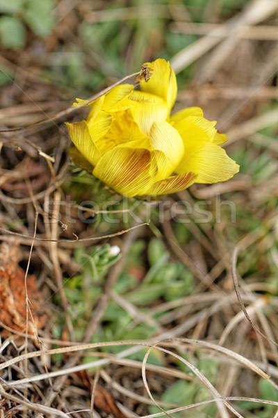 Gelbe Blume Foto schönen wenig Blume Liebe Stock foto © Nneirda