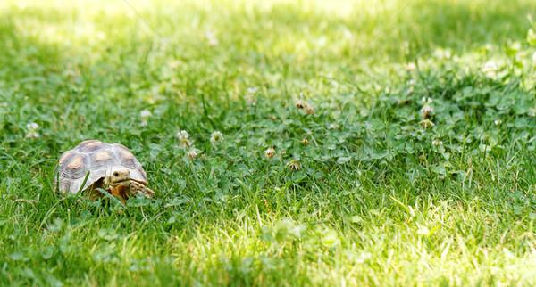 Stock photo: Little turtle