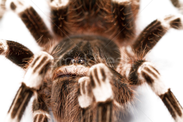 beautiful spider Stock photo © Nneirda