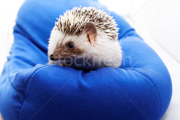Cute hedgehog Stock photo © Nneirda