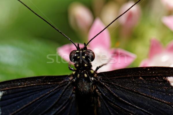 Klein vlinder roze bloemen groene eten Stockfoto © Nneirda