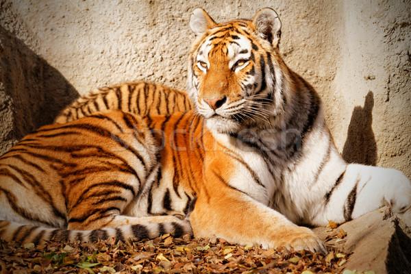 Tiger mum Stock photo © Nneirda