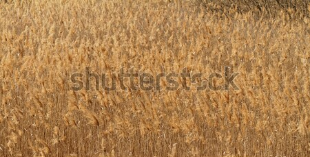 Wheat field Stock photo © Nneirda