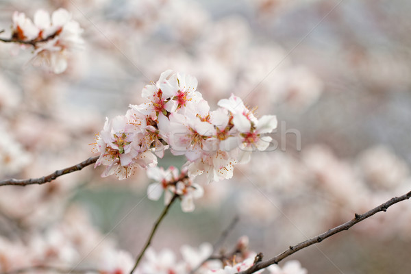 Tree flowering Stock photo © Nneirda