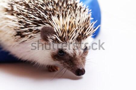 Cute hedgehog Stock photo © Nneirda