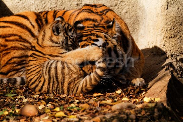 虎 ママ 動物園 カブ 晴れた 写真 ストックフォト © Nneirda
