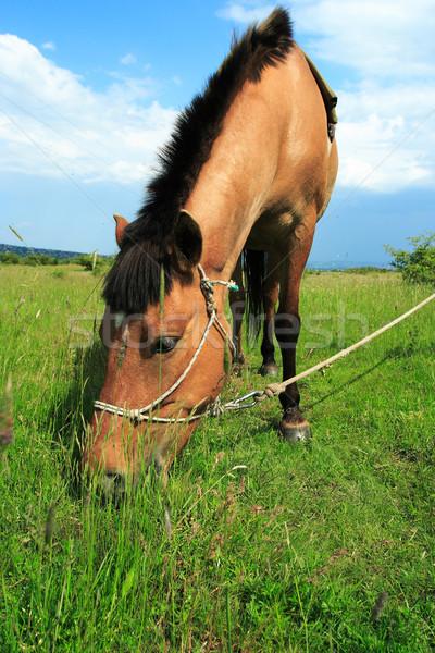 Brown horse Stock photo © Nneirda