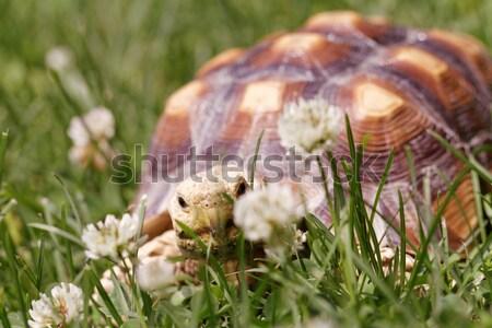 Afrikai teknősbéka aranyos teknős kúszás zöld fű Stock fotó © Nneirda