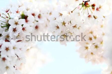 Cherry blossom against Stock photo © Nneirda