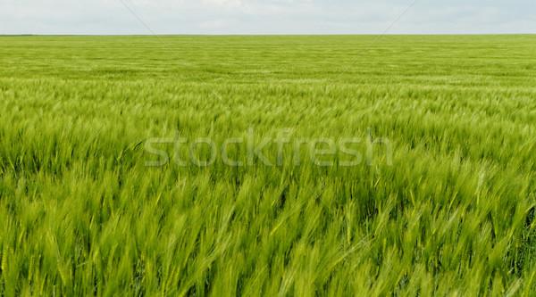 Verde grano grano campo primavera libertà Foto d'archivio © Nneirda