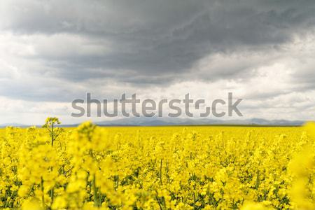 Campo cielo nubes flor primavera paisaje Foto stock © Nneirda
