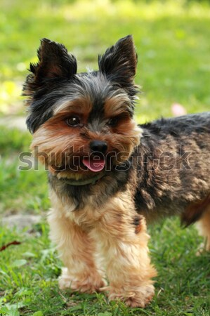 Yorkshire terrier Stock photo © Nneirda