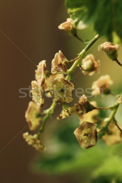 Ribiszke ág virágok elmosódott virág tavasz Stock fotó © Nneirda